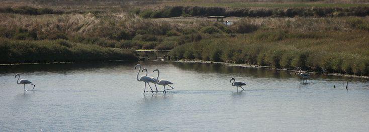 Flamingos, Figueira da Foz, Portugal