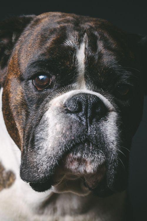 perros más buenos y expresivos los boxers
