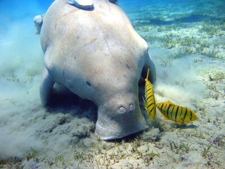 Dugong (Égypte) |Julien Willemvia Wikimedia Commons (License by)        Les dugongs peuvent atteindre jusqu'à trois mètres de long et peser une tonne.On ne connaît pas de façon précise la population globale de ces mammifères, mais il en resterait environ 70.000 dans le nord de l'Australieet 6.000 dans legolfe Persique.