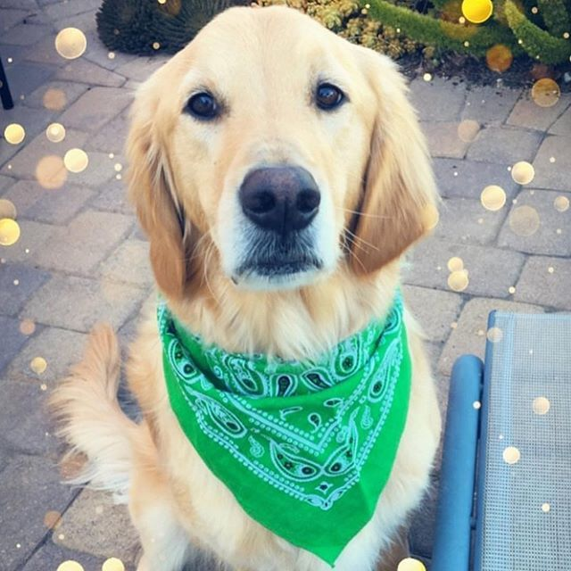 We Are Green With Envy Over This Cutie Archiethegoldenretriever Urban Dog Dog Solution Dogs