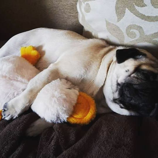 #pug #pugs #mauricethepug #sleepy #lazy #sleep #dog