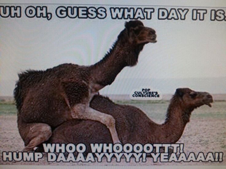 55 best Hump day images on Pinterest | Funny camels, Funny ...