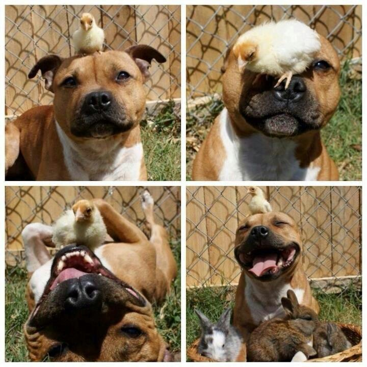 Thats one vicious pitt bull! ;) him and thqt chick are best friends ♥