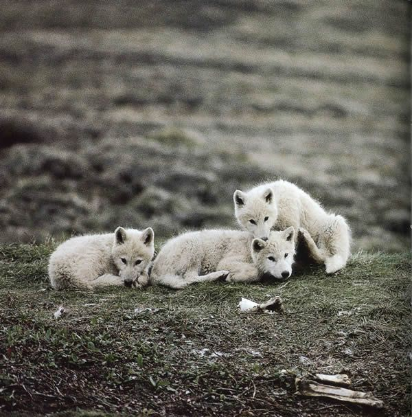 Image detail for -closeup of arctic wolves in winter arctic wolf howling arctic wolf ...