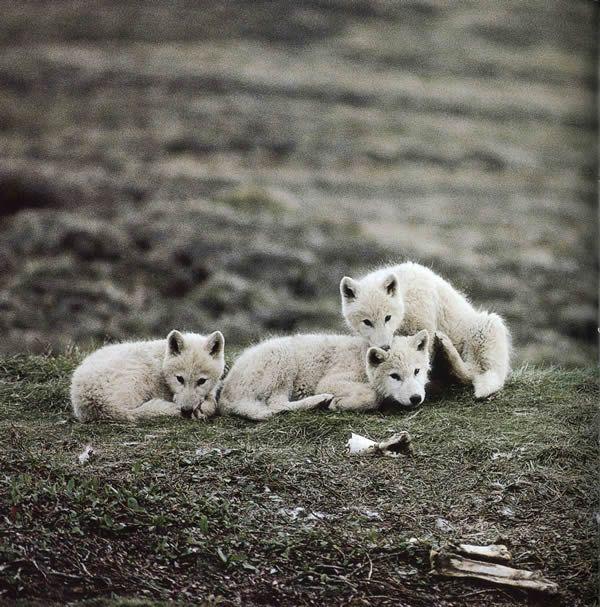 Arctic wolf puppies.