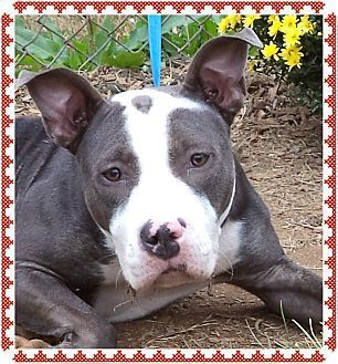 Adopted💜BINDI - Volunteer favorite. Pets at this Shelter may be held for only a short time.Marietta, GA - Pit Bull Terrier Mix. Meet BINDI - Volunteer favorite a Dog for Adoption.