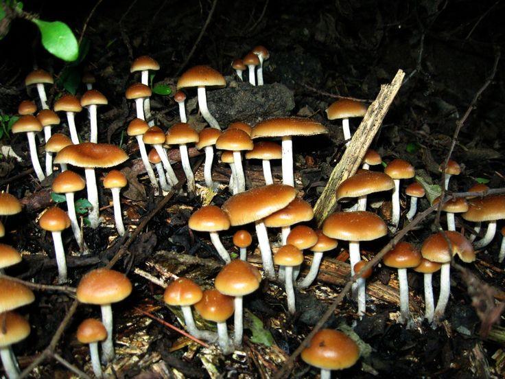 O que acontece com o cérebro de quem usa cogumelos alucinógenos