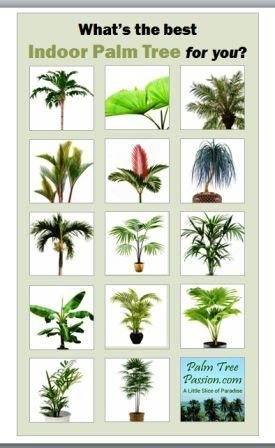What's the best indoor palm tree for you?    www.palmtreepassion.com has the answer.  #palmtrees #homedecor