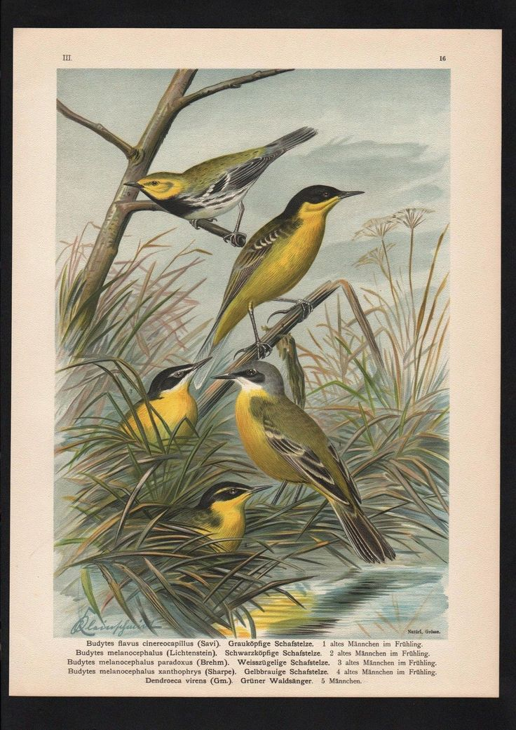 1880 - Schafstelze wagtail Vogel Vögel bird birds Farblithographie Naumann | eBay