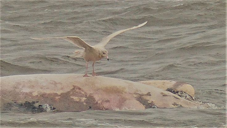 Second year glaucous gull surfing a dead long-finned pilot whale, Liscannor, January 2018.