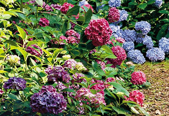 Changing the colors...Acidic soil=Periwinkle, Alkaline soil=Pink blooms.: Gardens Ideas, Hydrangeas Beautiful, Flowers Gardens, Flowers Galor, Blue Hydrangeas, Beautiful Blue, Around The House, Gardens Patio, Colour House