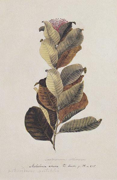metrosideros umbellata. drawn by georg forster, 1754 - 1794.