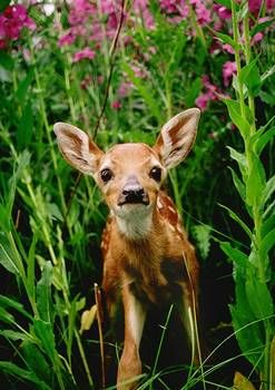 White Tailed Deer. It's so cute, I almost cried.