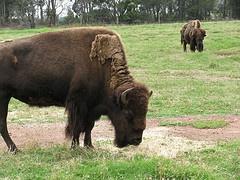 Bison at Werribee Zoo