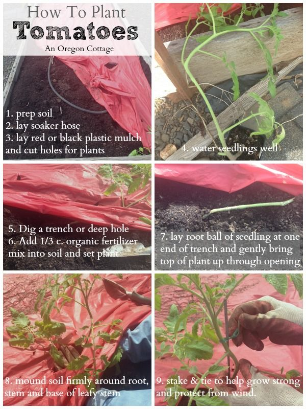 Best 25 How To Plant Tomatoes Ideas On Pinterest How To