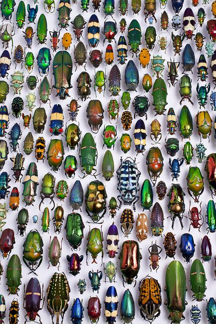 Beetle collection in the Karlsruhe museum of natural history