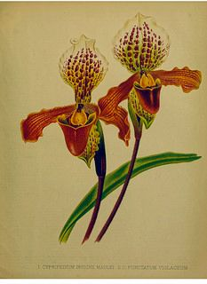 Paphiopedilum insigne var. hort. [as Cypripedium insigne var. hort] Native to high cliffs near water, in Bangladesh and Nepal. The garden., vol. 21 (1882).