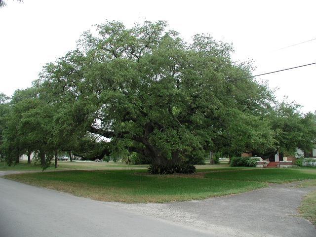 love texas oaks!