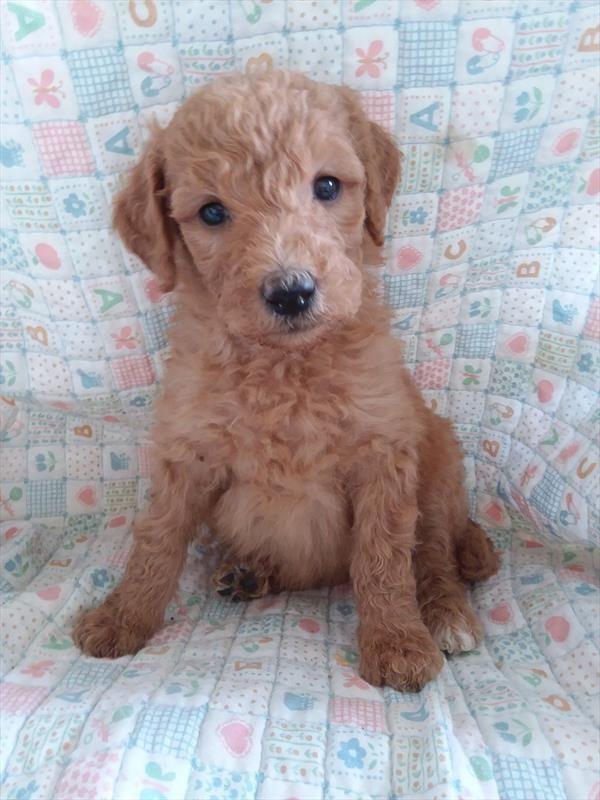 Goldendoodle Poodle Standard Mix Puppy For Sale In Tucson Az