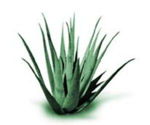 Herbal Medicine Picture: Sabila / Aloe Vera (Aloe Barbadensis Miller)