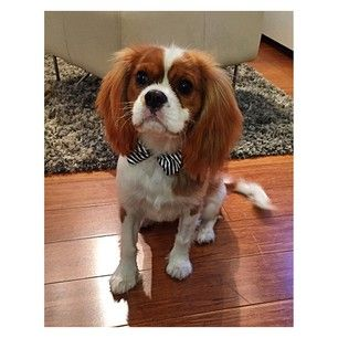 KCCO, by which I mean King Charles Cavalier Ohmygodsocute