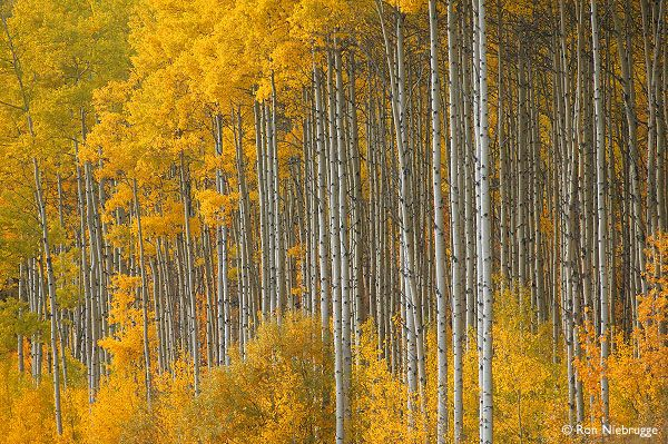 AB, Bighorn Highway 40, Grande Cache - Poplars in Fall (photographer Ron Niebrugge)
