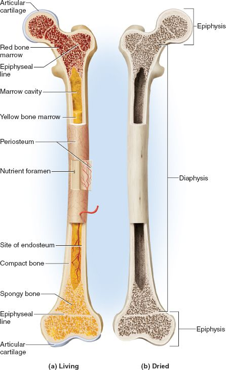 17 best ideas about epiphyseal plate on pinterest | paediatric, Cephalic Vein