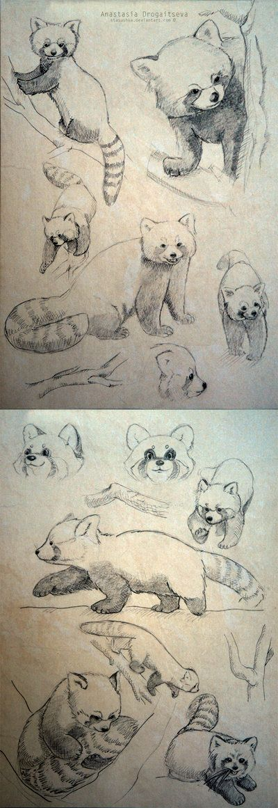 Differentes positions et differents closeup Red Panda sketches by Stasushka.deviantart.com on @deviantART