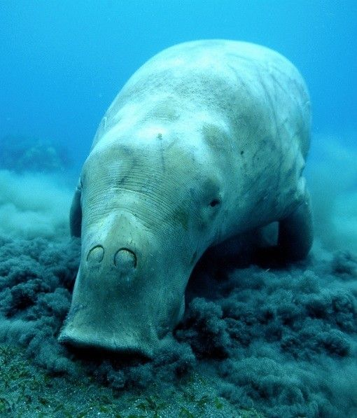 Dugong grazing - spot one of these rare creatures at Shark Bay or Ningaloo in Western Australia.