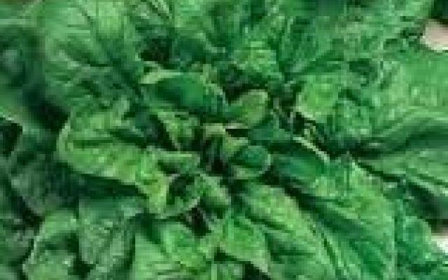 Coltivare lo spinacio matador da seme #seme #orto #spinaci