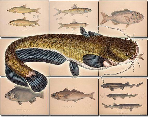 FISHES-26 Collection of 73 vintage images Catfish Yellowfish American Harvestfish, Atlantic Cod, Atlantic Herring, Atlantic Mackerel, Banded Tilapia, Bermuda Sea Chub, Blackbelly Rosefish, Bramble Shark, Brown Meagre, Burbot, Burchell