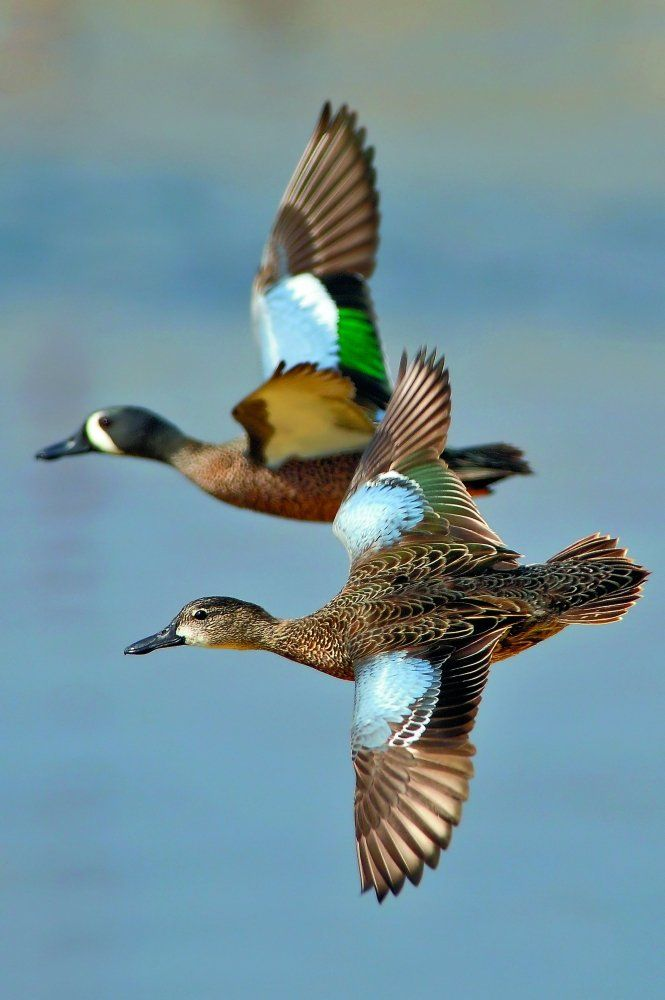 Blue-winged Teal by Andy Nguyen                                                                                                                                                                                 More