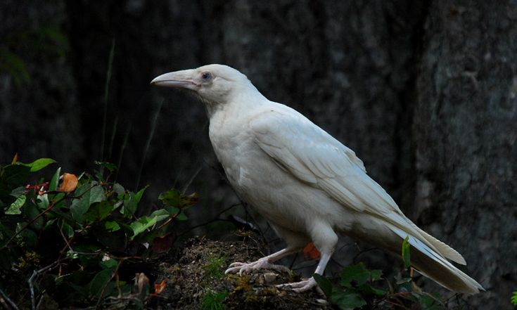 The rare white raven (this photo taken on Vancouver Island, BC). Particularly special to the Haida of the area.