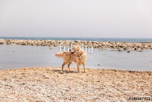 """Descargue la foto libre de derechos """"Golden Retriever enjoys a sunny day at the beach"""" creada por ADDICTIVE STOCK al precio más bajo en Fotolia.com. Explore nuestro económico banco de imágenes para encontrar la foto perfecta para sus proyectos de marketing."""