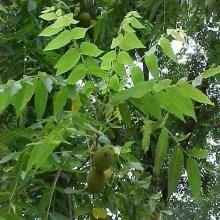 Juglans nigra -- Black Walnut