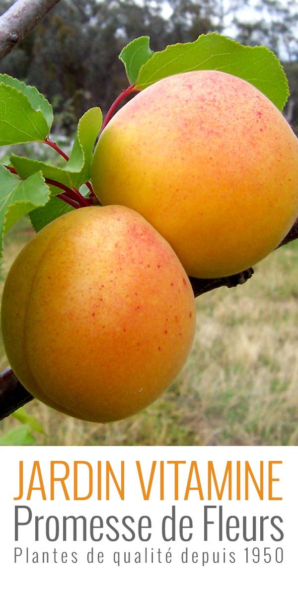 L'Abricotier Bergeron est une variété à floraison semi-tardive, particulièrement bien adaptée aux variations de températures en fin d'hiver. Ses fruits murissent courant mi-juillet; très gros, ils pèsent 60-65g, et sont jaune-orangé à l'extérieur, sa chair juteuse et sucrée est orange clair. L'Abricotier Bergeron est une variété auto fertile, qui ne nécessite pas la présence d'une autre variété pour être pollinisée.