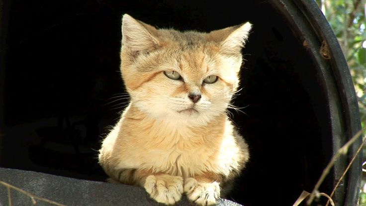 Meet Canyon the SAND CAT!  An informative film about the cutest but wild cat.