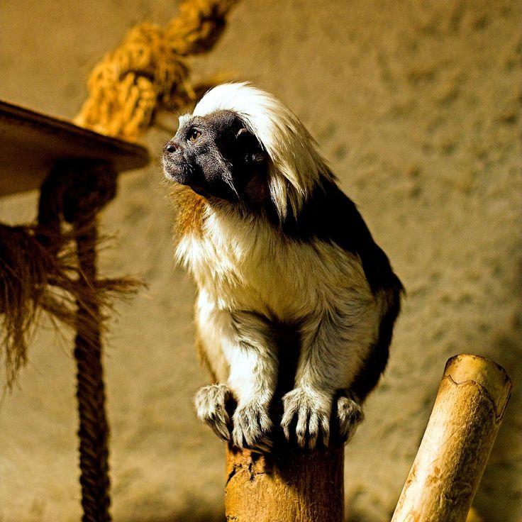 https://flic.kr/p/6tsc3D | - Zoo Erfurt - | A little Cottontop Tamarin in the Zoo of Erfurt, Germany. (2009-05-30)