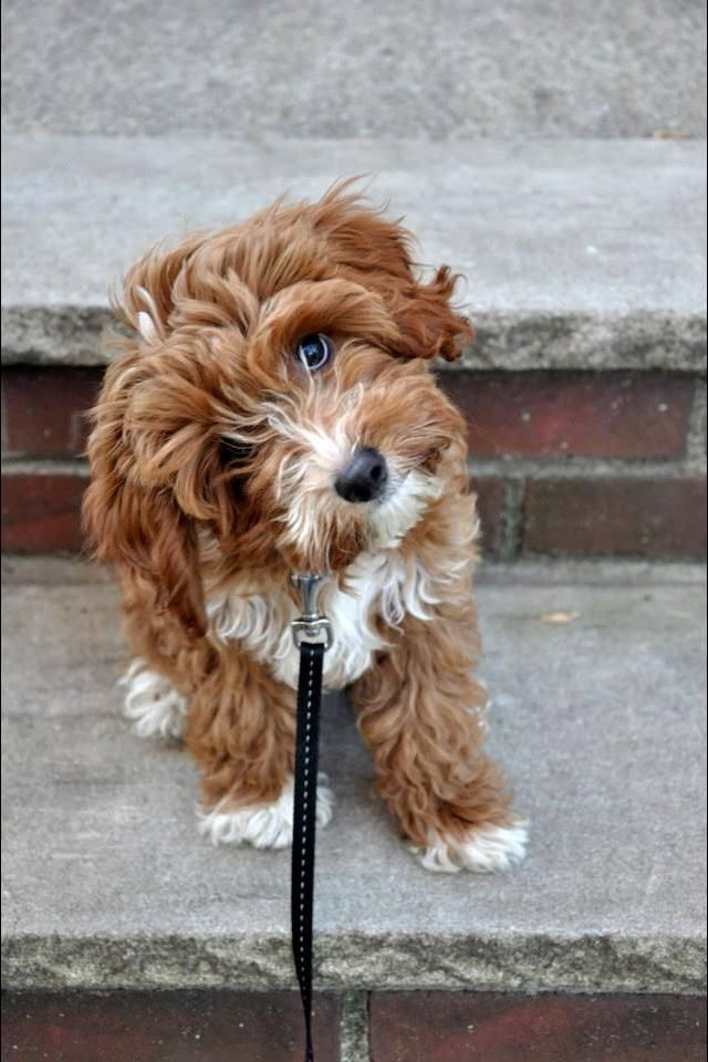 I need a Cavapoo. They are the cutest dogs ever. I NEED YOU!| cute puppies and dog training tips by KaufmannsPuppyTraining.com