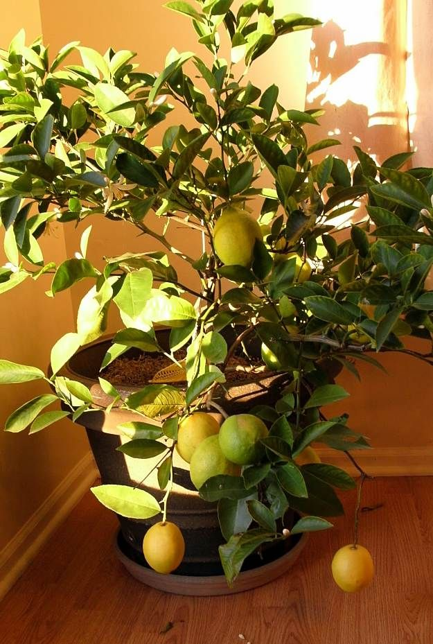 Best 25 lemon seeds ideas on pinterest growing lemon for Growing a lemon tree in a pot from seed