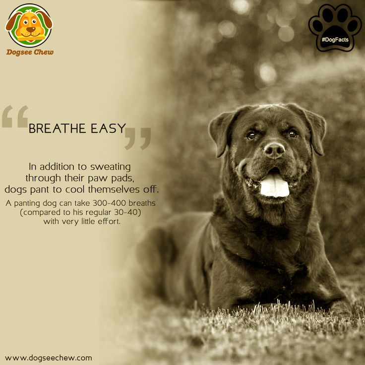 A panting dog is such a common sight, but, ever wondered why it does so? Dogs cannot sweat like humans do. Panting is how they regulate their body temp. and also oxygenate their blood. #DogFacts #DogseeChew.