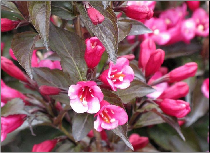 131 best flowers weigelas images on pinterest shrubs flowering merlot pink weigela high wide deep wine coloured leaves with intense pink trumpet shaped flowers very fragrant full sun to light shade mightylinksfo Image collections