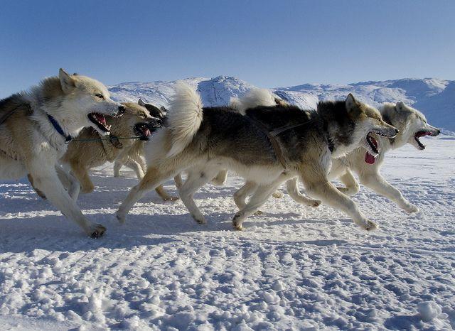 Greenland Dog (Grønlandshund).