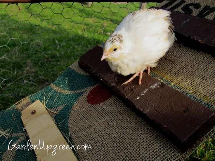 17 Best images about Urban Homestead-Chickens/Quail on ... Raising Quail