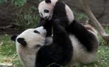 San Diego Zoo - Panda Mama