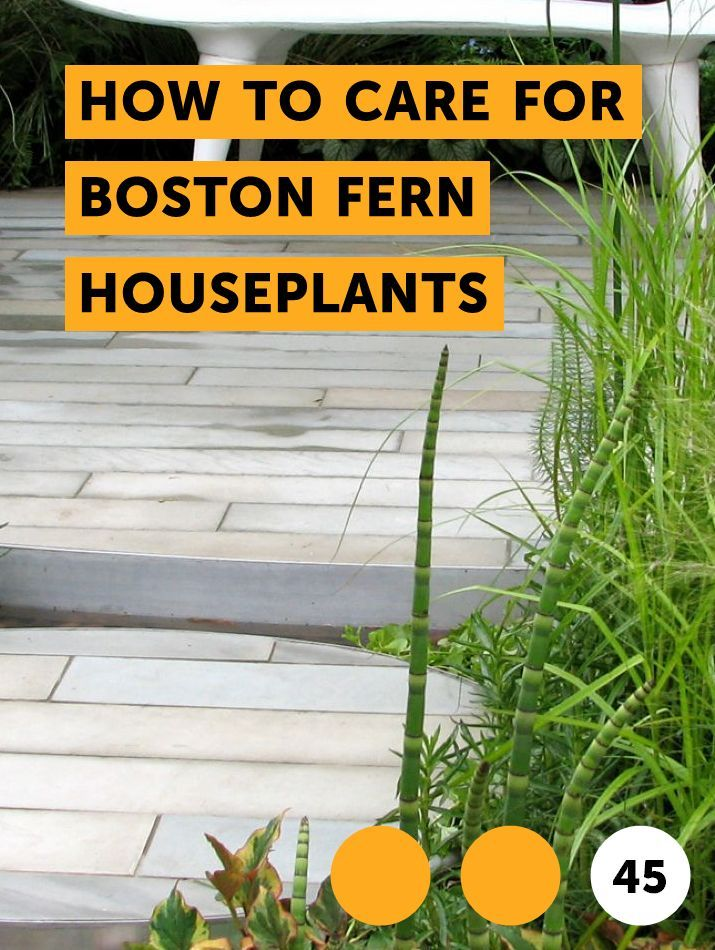 How To Care For Boston Fern Houseplants Lilac Bushes Planting Shrubs Cucumber Plant