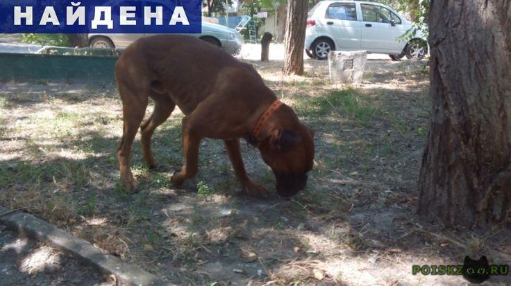 Найдена собака кобель боксер рыжий г.Севастополь http://poiskzoo.ru/board/read25702.html  POISKZOO.RU/25702 Найдена собака, в микрорайоне бухты Омега. Кобелек, с черной масочкой. На груди белые пятна. Уши висячие, обрезанный хвост. Есть свежие раны от укусов. Можем держать у себя только до конца лета. Ищем прежних хозяев или новую семью.   РЕПОСТ! @POISKZOO2 #POISKZOO.RU #Найдена #собака #Найдена_собака #НайденаСобака #Севастополь