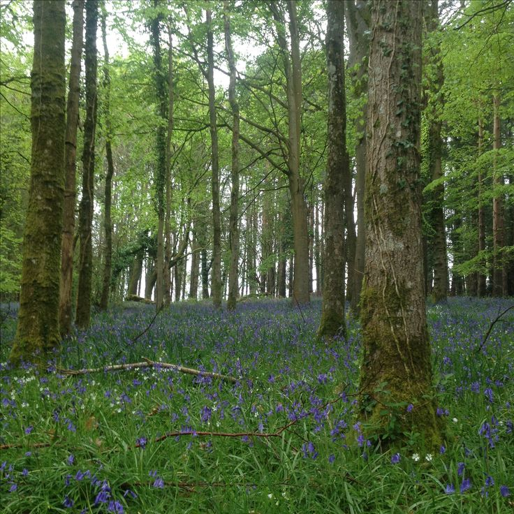 Blue bells in woods