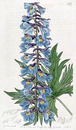 Ботанічна ілюстрація Сіденхема Едвардса з журналу The Botanical Register