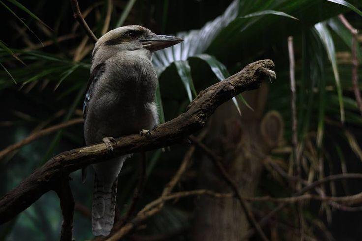 ITAP of a kookaburra at my local zoo http://ift.tt/2hnbFZw